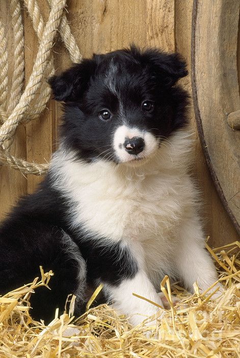 puppy food guide border collie
