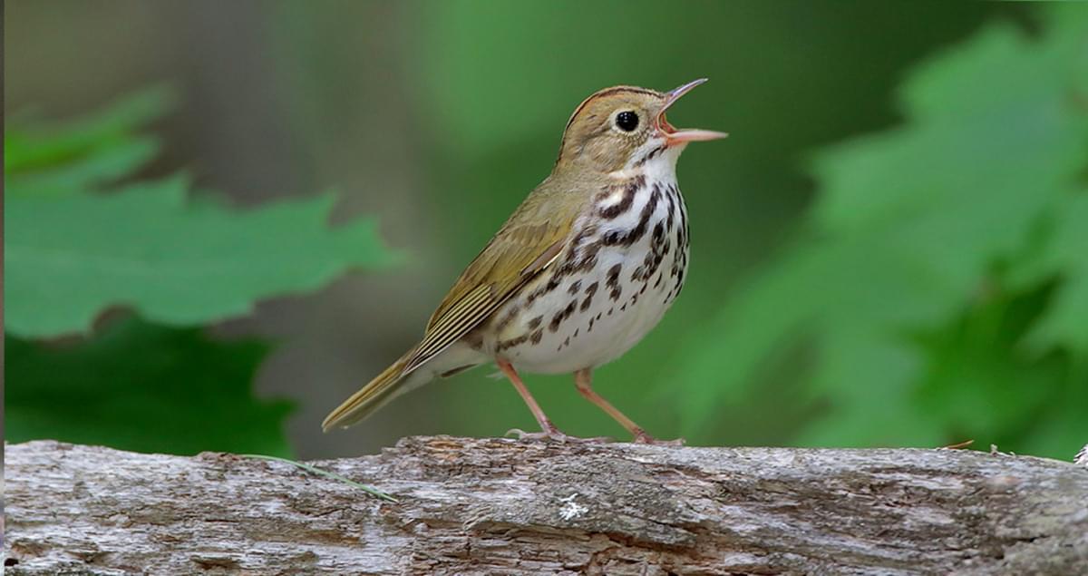 cornell all about birds bird guide
