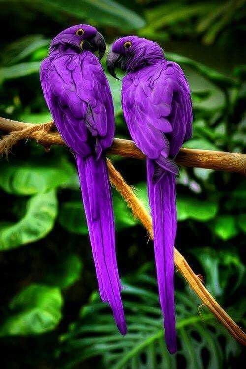indian ringneck parakeet guide book