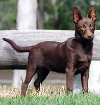 australian kelpie the essential guide to the australian working dog